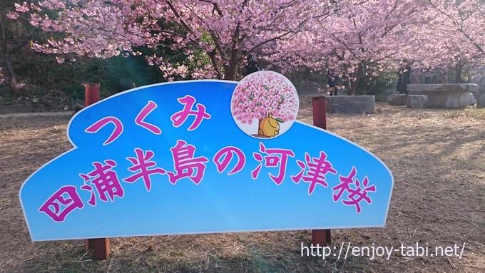 四浦半島 河津桜